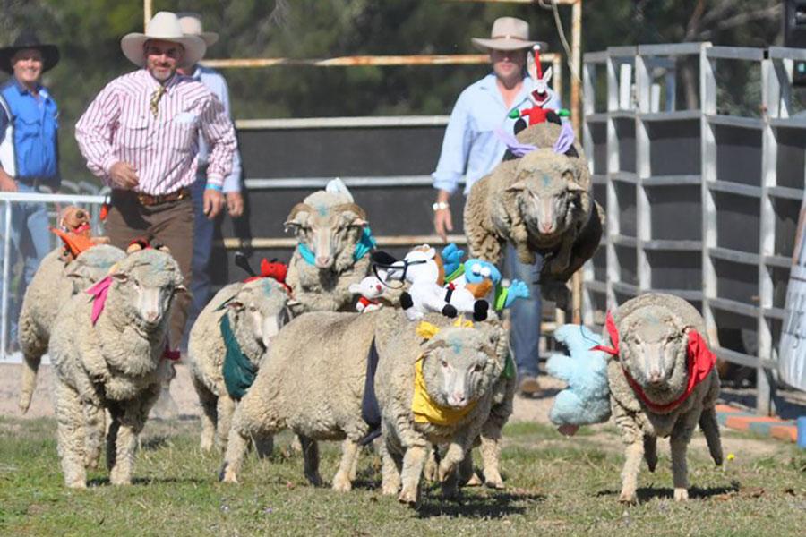 Millmerran Sheep Races