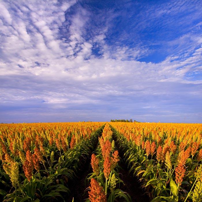 Cecil Plains grain field