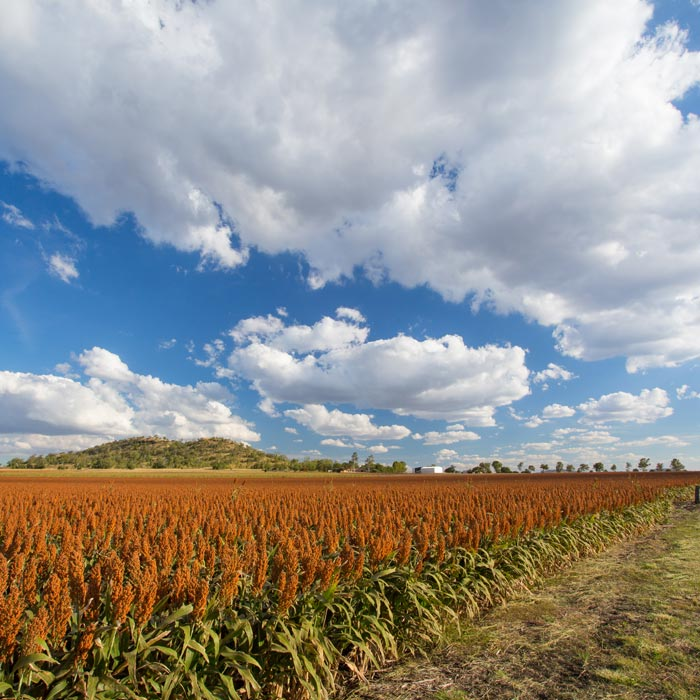 Large crop in Pittsworth
