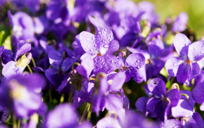 Toowoomba's Floral Emblem- The Violet